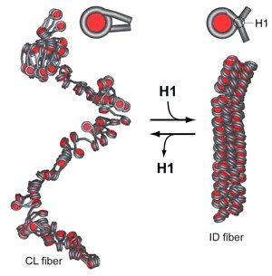 Nucleosome+model